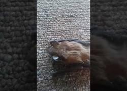 Enlace a Murciélago atrapado en un cubo de la basura