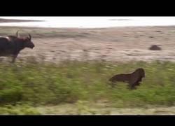 Enlace a La tremenda pelea de estos dos leopardos por cazar un joven búfalo