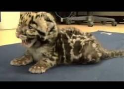 Enlace a Los primeros rugidos de este bebé de leopardo