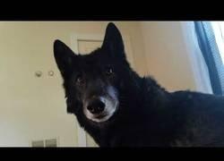 Enlace a Este perro no quiere abandonar la cama por nada del mundo