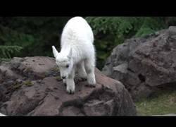 Enlace a La bebé de cabra que empieza a dar sus primeros pasos aprendiendo a saltar por el campo