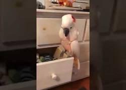 Enlace a Esta cacatúa entra en locura y saca todos los calcetines de su amo por toda la habitación