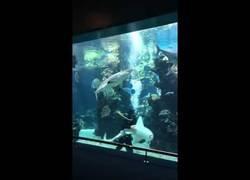 Enlace a Este tiburón cebra no deja trabajar tranquilo al buceador mientras anda en sus tareas