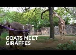 Enlace a Un día muy especial para esta cabra de visita por primera vez a una jirafa