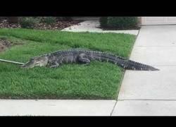 Enlace a Intentan atrapar un enorme aligator y sale realmente mal