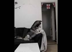 Enlace a Este husky cae de lleno en este divertido truco de magia