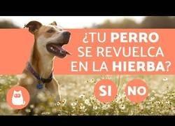 Enlace a ¿Por qué los perros se revuelcan en la hierba?
