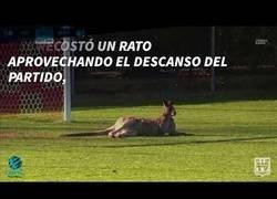 Enlace a Un canguro se cuela en un partido de fútbol en Australia