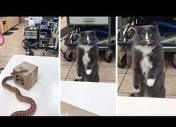 Enlace a La reacción de un gato al ver una serpiente por primera vez