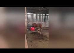 Enlace a Este perro trata de todas las formas jugar a la pelota con su amigo el caballo