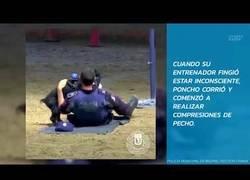 Enlace a Un adorable perro policía realiza una maniobra de reanimación a su entrenador