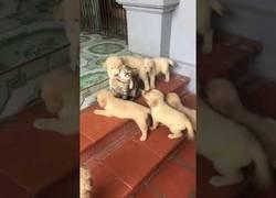 Enlace a Un grupo de perros atacan a un indefenso gato