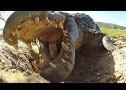 Enlace a El modo de transporte de este cocodrilo para todas sus crías (y un cámara espía)