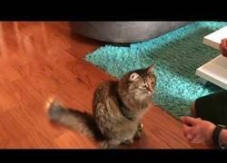Enlace a Así se le enseña a un gato a dar la patita