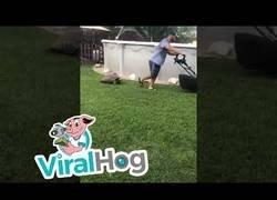 Enlace a La tortuga que persigue a su dueño mientras corta el césped del jardín