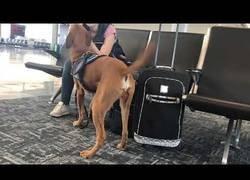Enlace a Increíble como preparan a los perros para que detecten la ansiedad/pánico en una persona