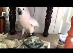 Enlace a El miedo de una cacatúa al enterarse que irá al veterinario