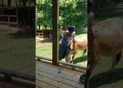Enlace a No es nada fácil trabajar teniendo a una vaca interrumpiéndote a cada rato