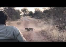 Enlace a Un feroz leopardo interrumpe una tremenda pelea entre dos impalas