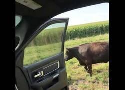 Enlace a Esta vaca haciendo el #InMyFeelingsChallenge es la ganadora absoluta