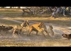 Enlace a La leona que salvó a su cría de ser comida por una manada de perros salvajes