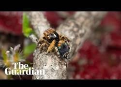 Enlace a Graban en Australia una especia de araña muy parecida a un pavo real