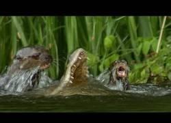 Enlace a Una familia de nutrias crea una estrategia para matar a un caimán