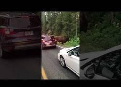 Enlace a El animal que paró el tráfico