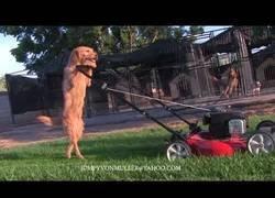 Enlace a El perro que ama cortar el césped del jardín