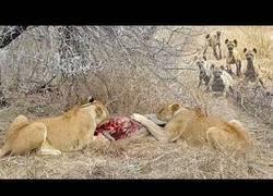 Enlace a Una manada de hienas le roba la comida a dos leones que estaban comiendo tranquilamente