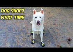 Enlace a Le pone unas zapatillas a su perro y la reacción es realmente divertida