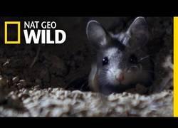 Enlace a El ratón saltamontes parece un adorable animalito pero es un asesino despiadado