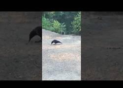Enlace a La caza de un mapache a un cuervo que vivía tranquilamente en un parque
