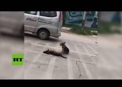 Enlace a El perro guardián de su compañero que acababa de morir en la carretera