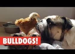 Enlace a El maravilloso mundo de los bulldogs
