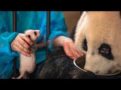 Este panda no se dio cuenta que tuvo gemelos; le intercambian uno y no se entera