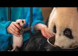 Enlace a Este panda no se dio cuenta que tuvo gemelos; le intercambian uno y no se entera