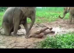 Enlace a El bebé de elefante que está en problemas para salir del barro