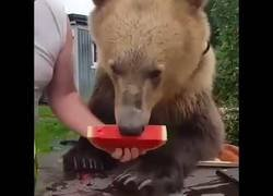 Enlace a Nunca imaginé que a un oso le gustase tanto las sandías