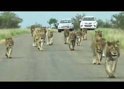 Enlace a La gran manada de leones desfilando en plena carretera