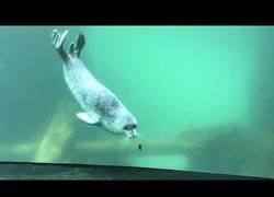Enlace a La bebé de foca que perseguía a una mariposa