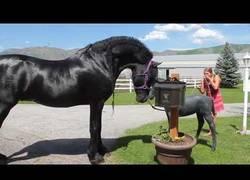 Enlace a A este precioso caballo negro le explota la cabeza al ver una estatua de un pequeño caballo