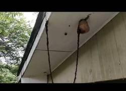 Enlace a Un ejército de un millón de hormigas crea un puente para atacar un panal de abejas