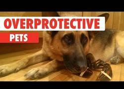 Enlace a Animales sobreprotectores