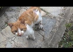 Enlace a Gato pidiendo ayuda tras sufrir una terrible herida en la patita