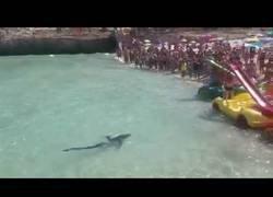 Enlace a Tiburón en Calas de Mallorca ·2· - Enfermo y desorientado?