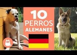 Enlace a Razas de perros alemanes