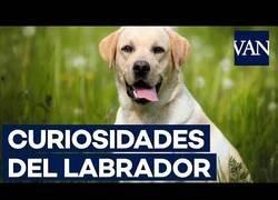 Enlace a Curiosidades del perro labrador