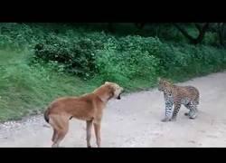Enlace a El tenso momento en el que un perro y un leopardo se encuentran frente a frente