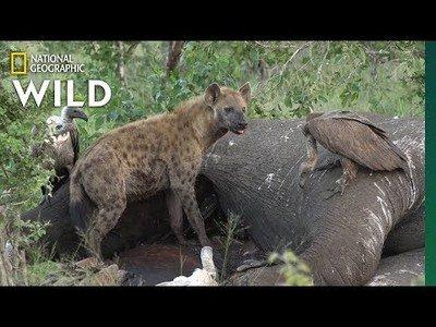 Esto es lo que sucede cuando un elefante muere (NATIONAL GEOGRAPHIC VIDEO)